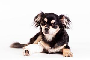 Les fractures du chien