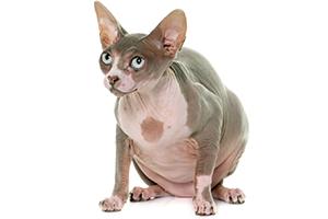L'obésité des animaux de compagnie (article et vidéo)